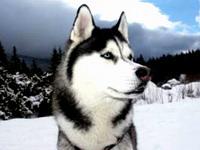 Более 100 гостей из шести стран примут участие в гонках на собачьих упряжках Завiруха 2012